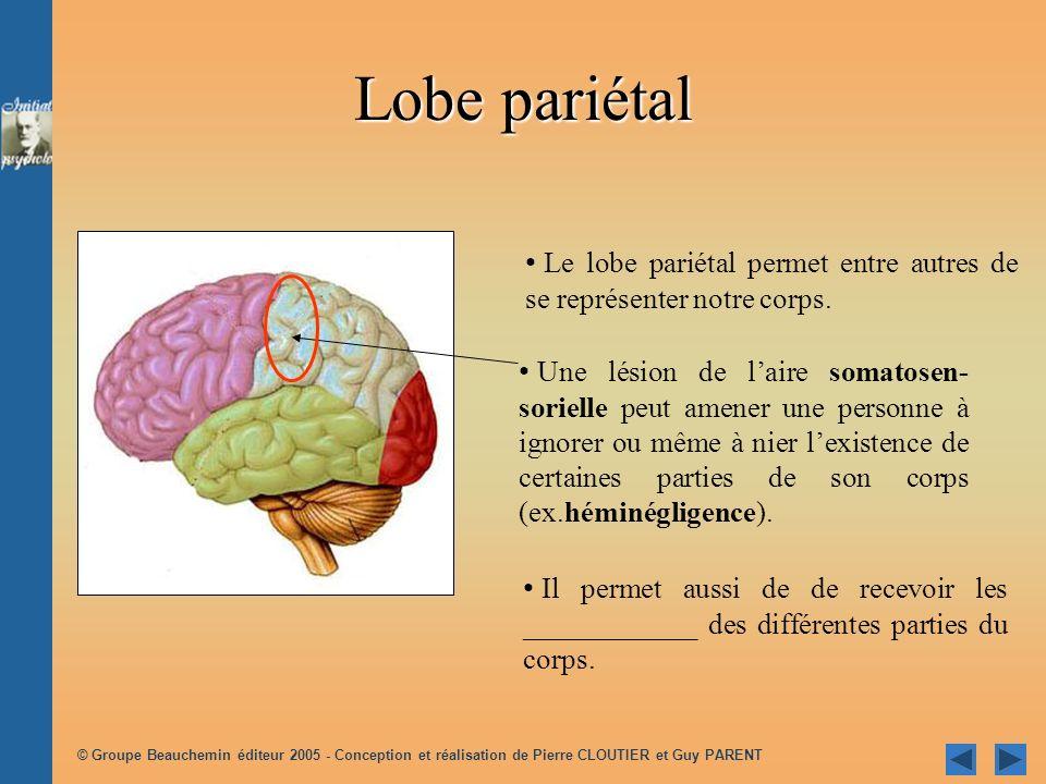 Lobe pariétal Le lobe pariétal permet entre autres de se représenter notre corps.