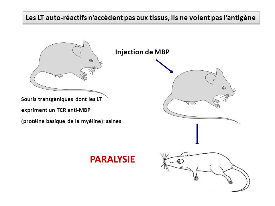 Les LT auto-réactifs n'accèdent pas aux tissus, ils ne voient pas l'antigène