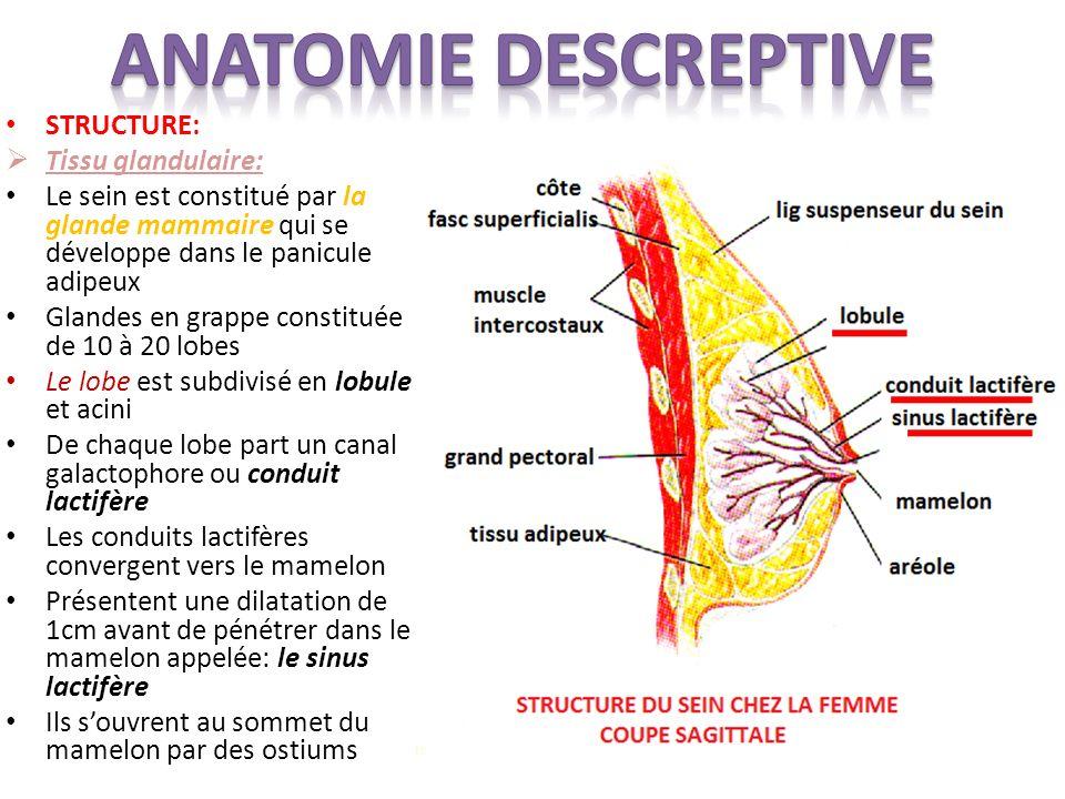 ANATOMIE DESCREPTIVE STRUCTURE: Tissu glandulaire: