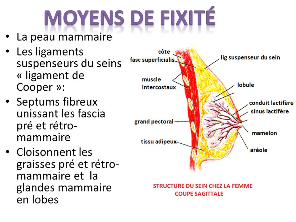 Moyens de fixité La peau mammaire