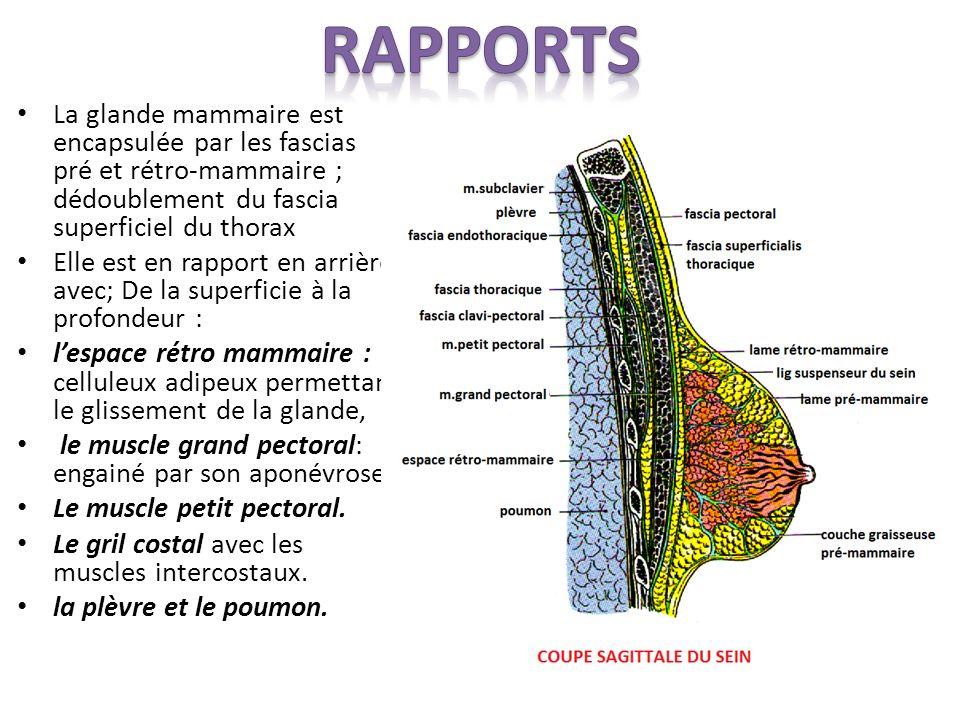 Rapports La glande mammaire est encapsulée par les fascias pré et rétro-mammaire ; dédoublement du fascia superficiel du thorax.