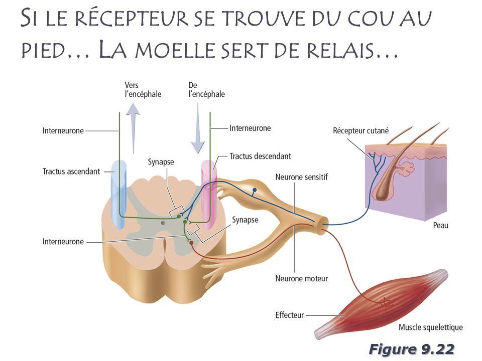 Si le récepteur se trouve du cou au pied… La moelle sert de relais…