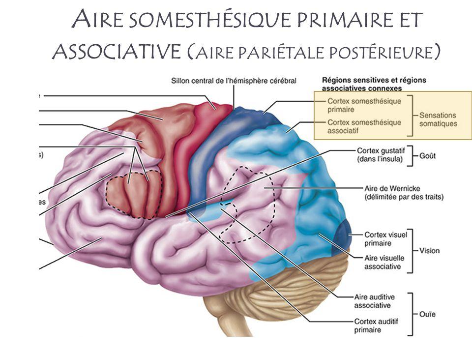 Aire somesthésique primaire et associative (aire pariétale postérieure)