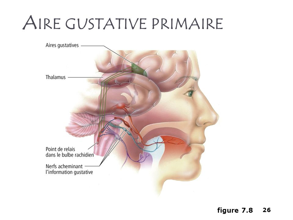 Aire gustative primaire