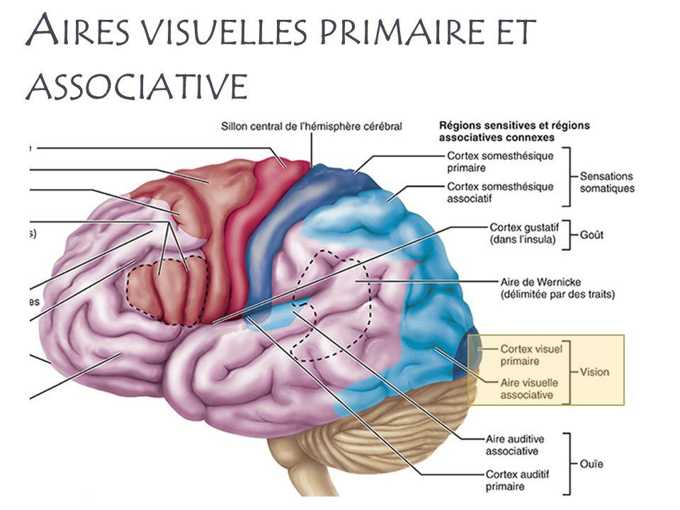 Aires visuelles primaire et associative