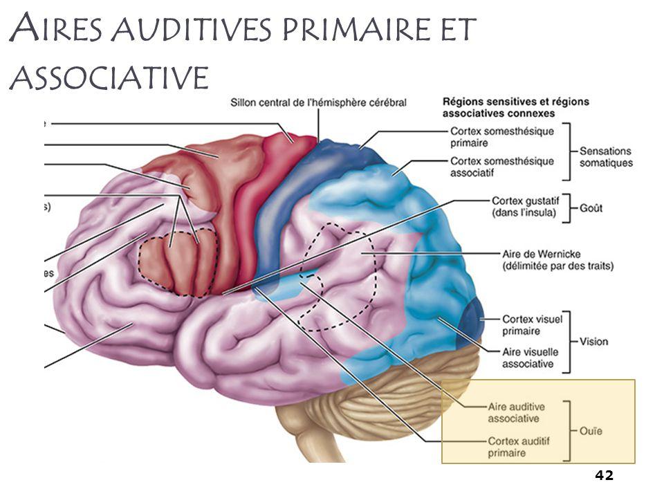 Aires auditives primaire et associative