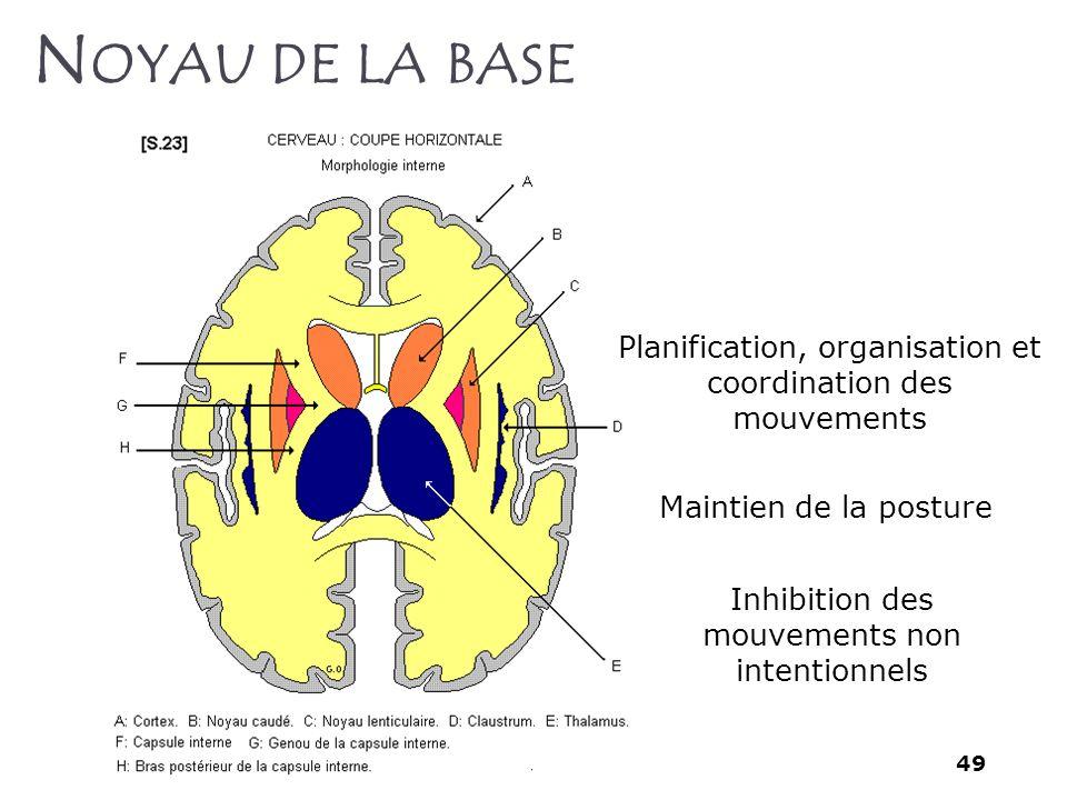 Noyau de la base Planification, organisation et coordination des mouvements. Maintien de la posture.