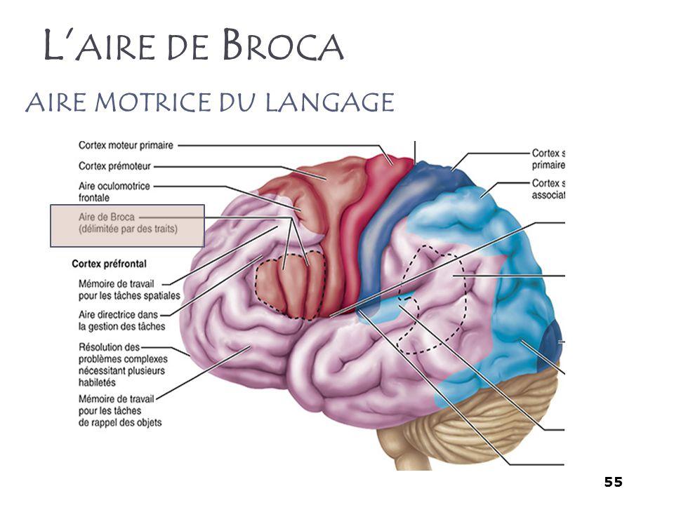 L'aire de Broca aire motrice du langage