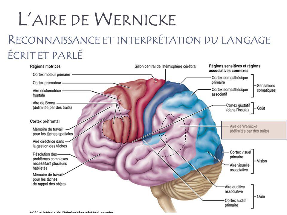 L'aire de Wernicke Reconnaissance et interprétation du langage écrit et parlé