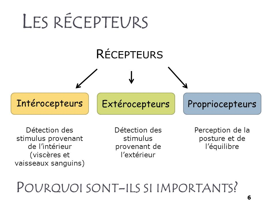 Les récepteurs Pourquoi sont-ils si importants Récepteurs