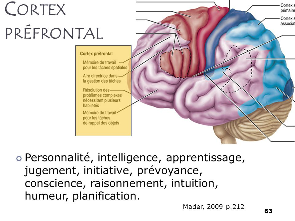 Cortex préfrontal