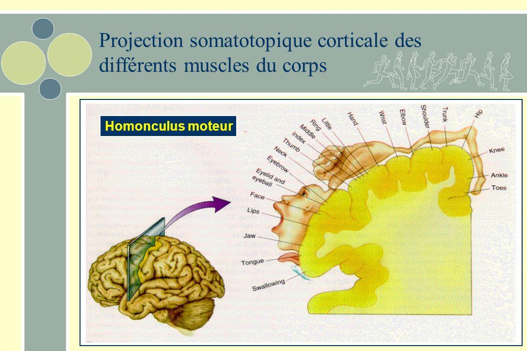 Projection somatotopique corticale des différents muscles du corps