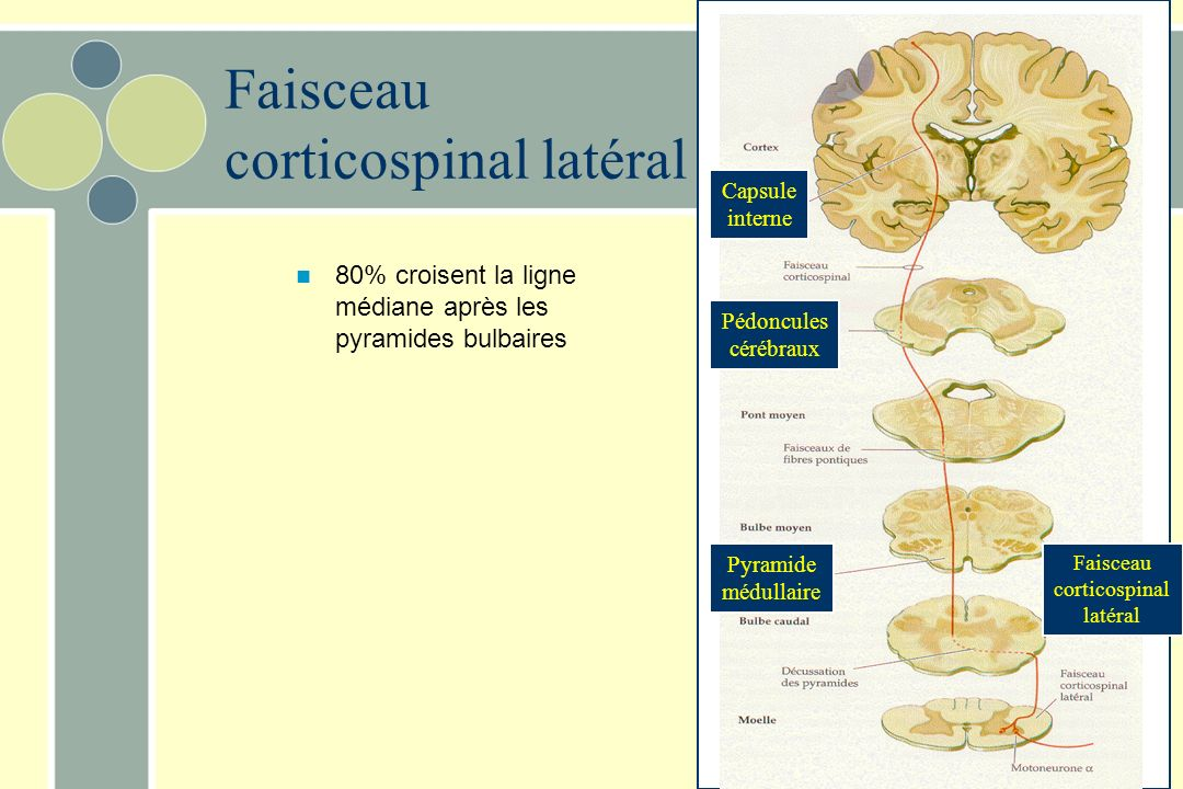 Faisceau corticospinal latéral