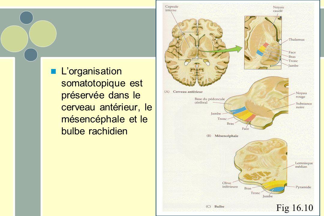 L'organisation somatotopique est préservée dans le cerveau antérieur, le mésencéphale et le bulbe rachidien