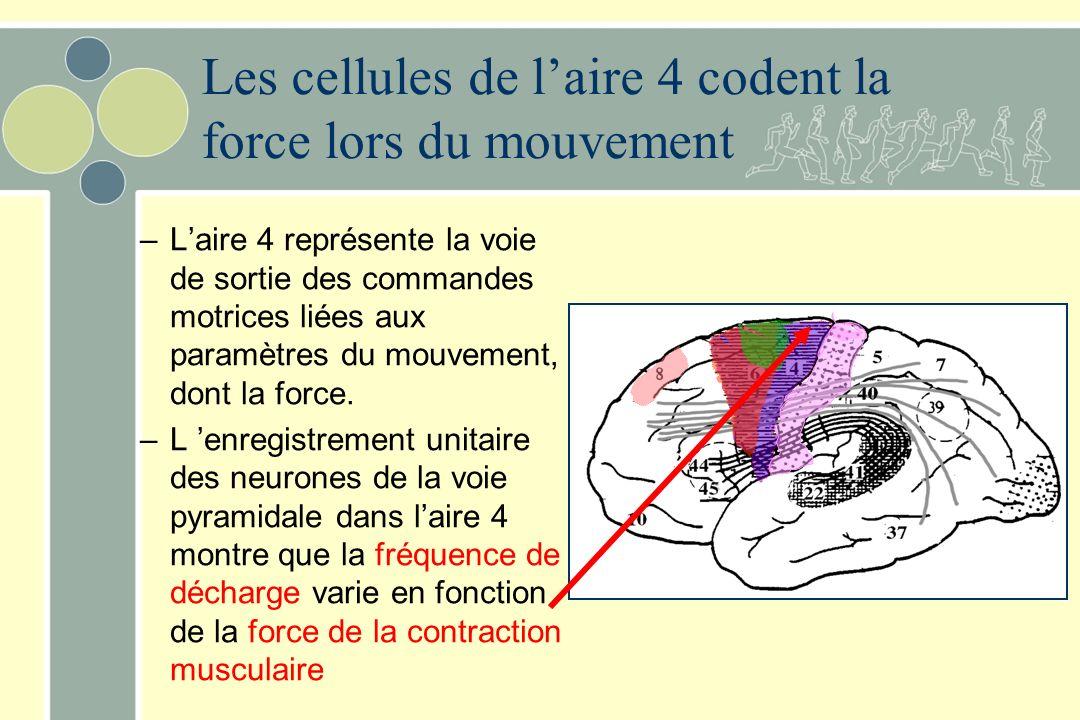 Les cellules de l'aire 4 codent la force lors du mouvement