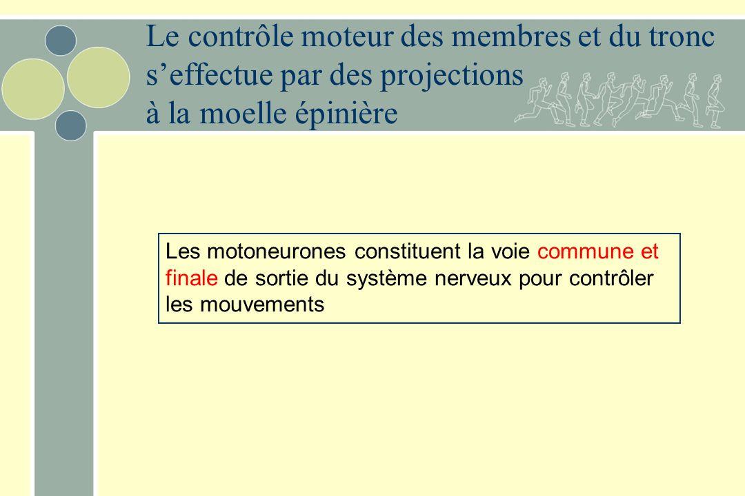 Le contrôle moteur des membres et du tronc s'effectue par des projections à la moelle épinière