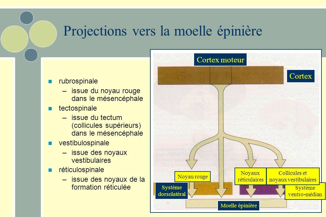 Projections vers la moelle épinière