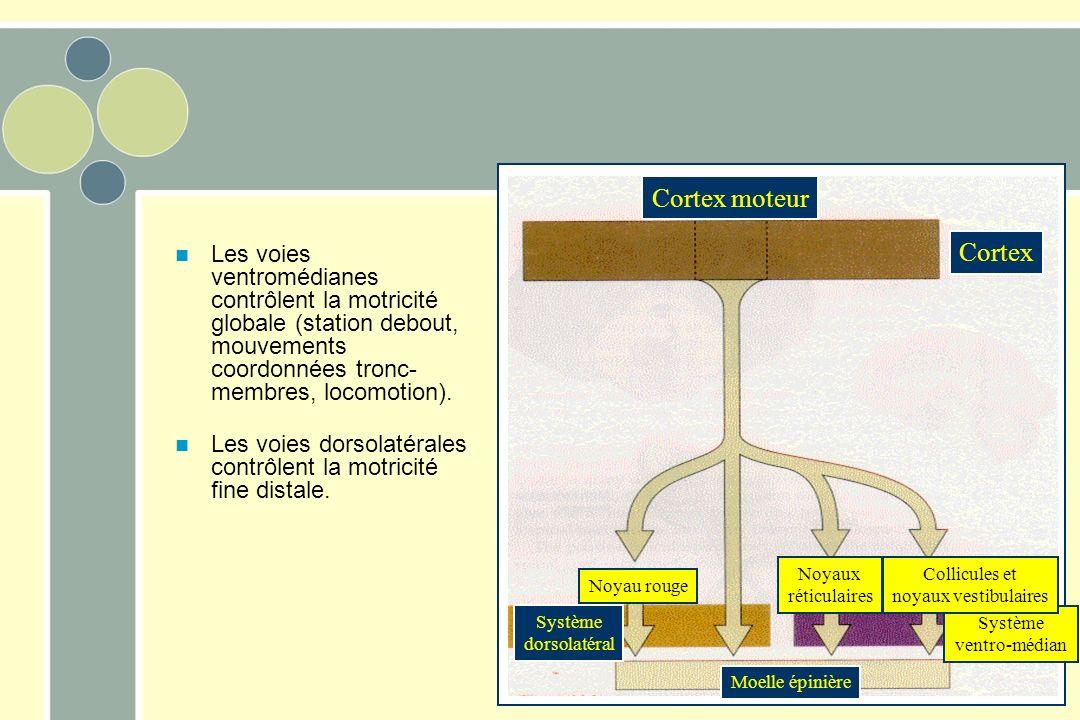 Cortex moteur Cortex. Les voies ventromédianes contrôlent la motricité globale (station debout, mouvements coordonnées tronc-membres, locomotion).