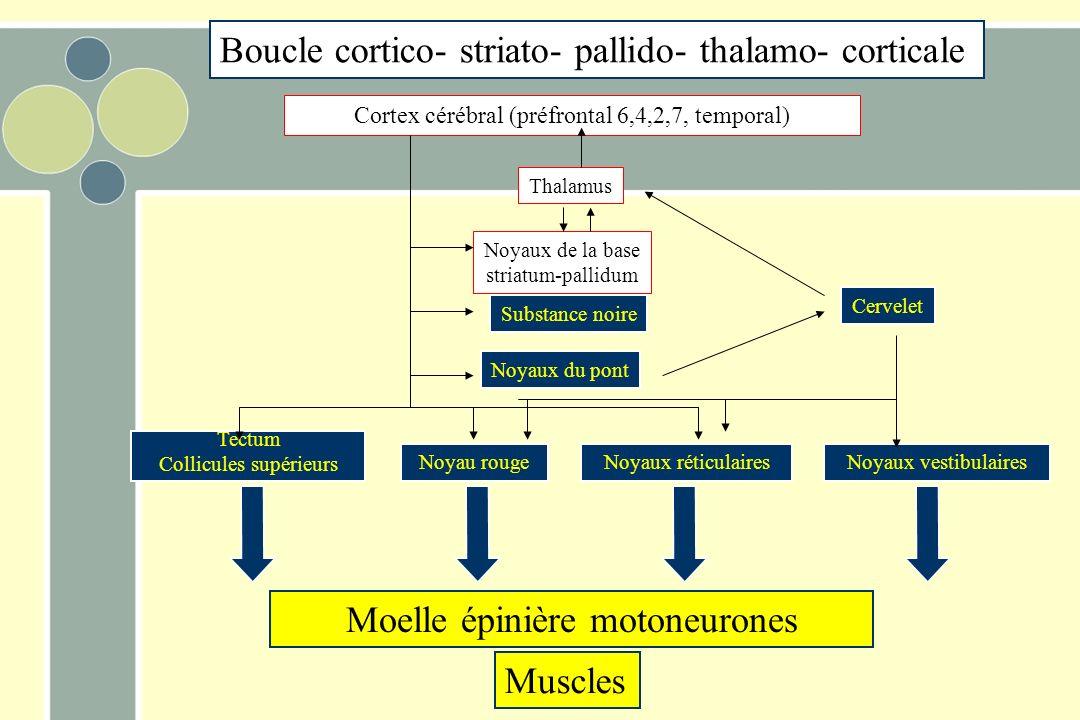 Boucle cortico- striato- pallido- thalamo- corticale