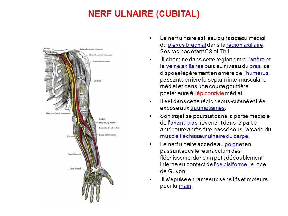 NERF ULNAIRE (CUBITAL)