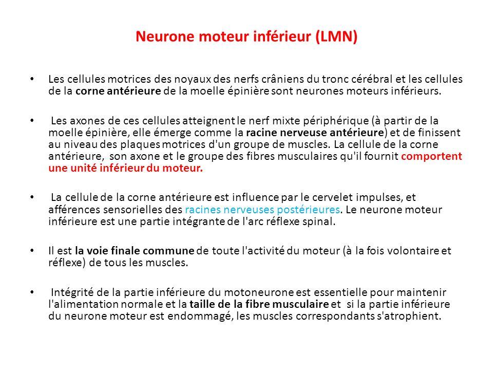 Neurone moteur inférieur (LMN)
