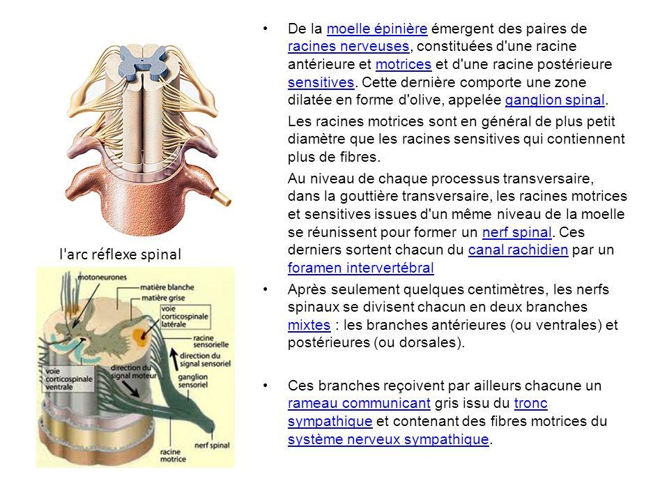 De la moelle épinière émergent des paires de racines nerveuses, constituées d une racine antérieure et motrices et d une racine postérieure sensitives. Cette dernière comporte une zone dilatée en forme d olive, appelée ganglion spinal.