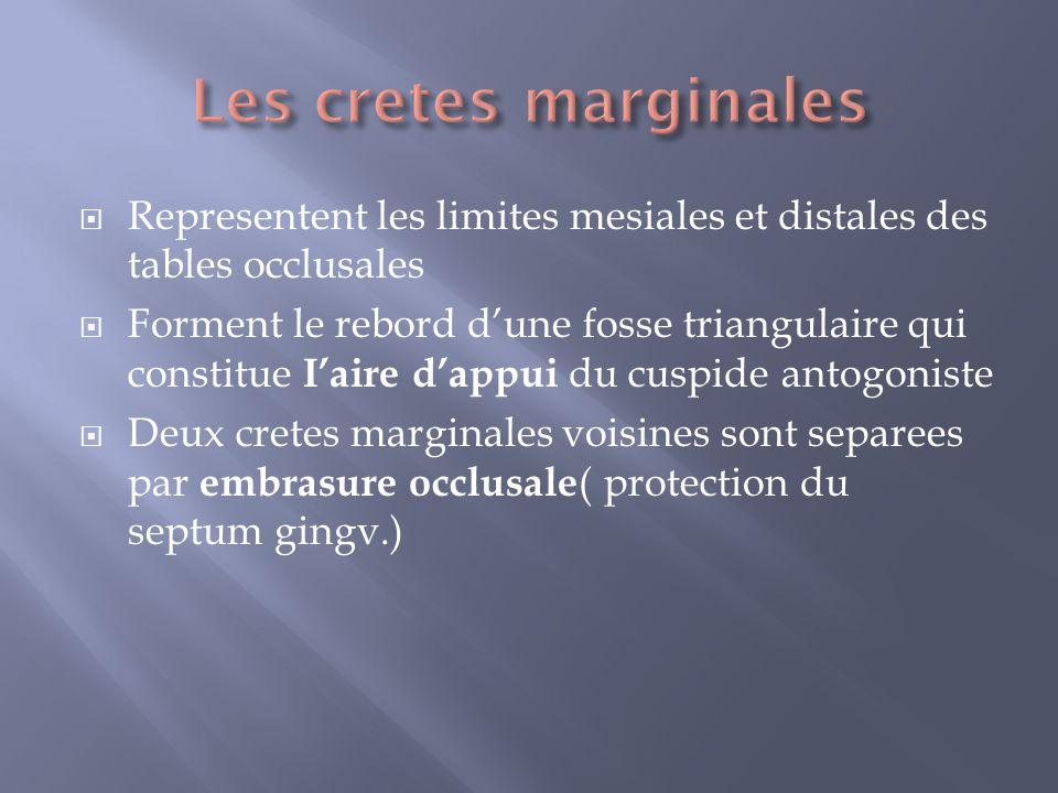 Les cretes marginales Representent les limites mesiales et distales des tables occlusales.