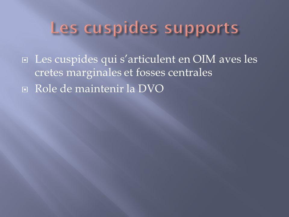Les cuspides supports Les cuspides qui s'articulent en OIM aves les cretes marginales et fosses centrales.
