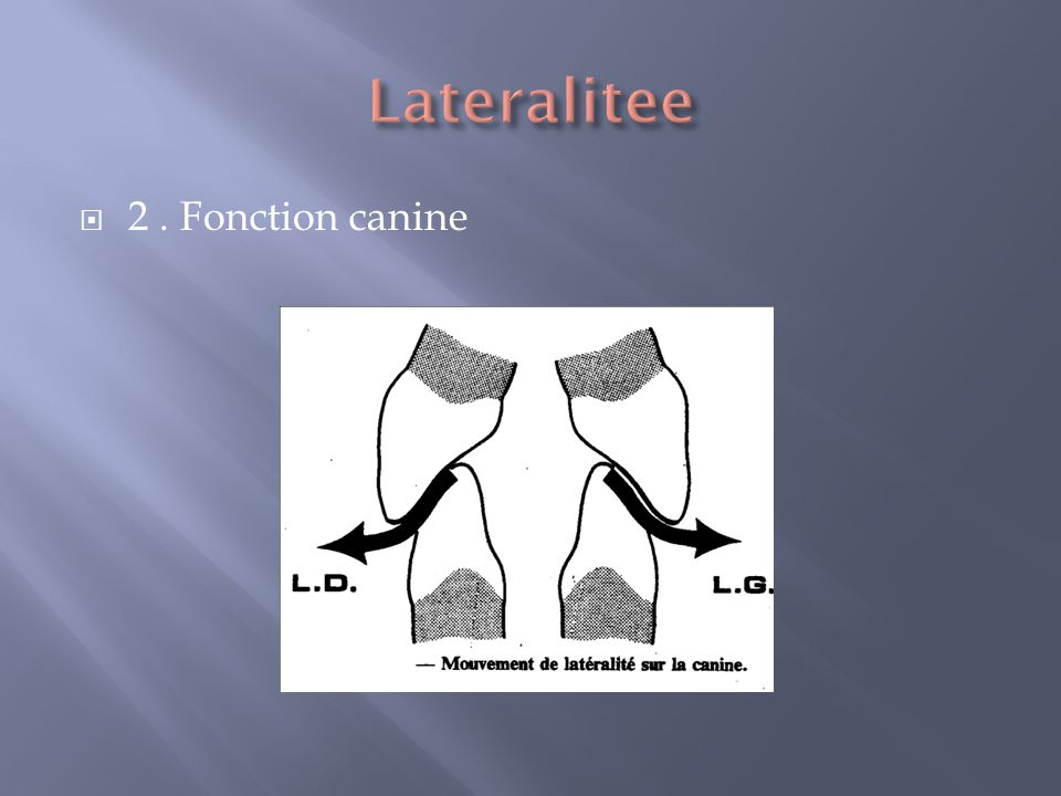 Lateralitee 2 . Fonction canine
