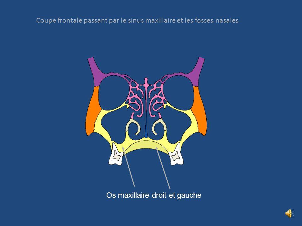 Coupe frontale passant par le sinus maxillaire et les fosses nasales