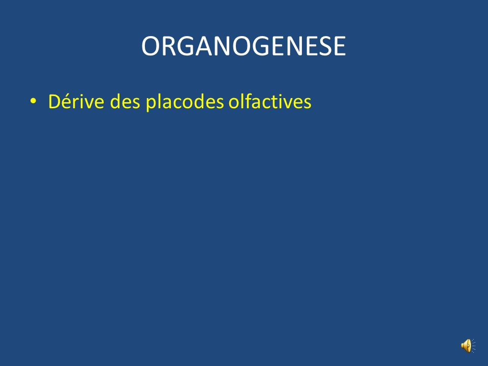 ORGANOGENESE Dérive des placodes olfactives
