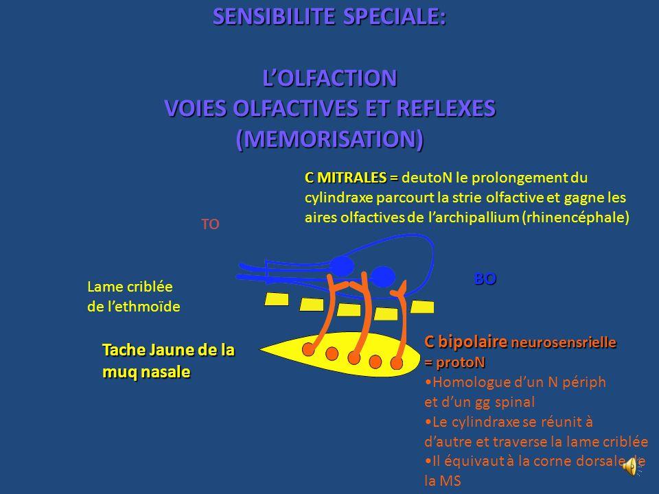 SENSIBILITE SPECIALE: L'OLFACTION VOIES OLFACTIVES ET REFLEXES (MEMORISATION)