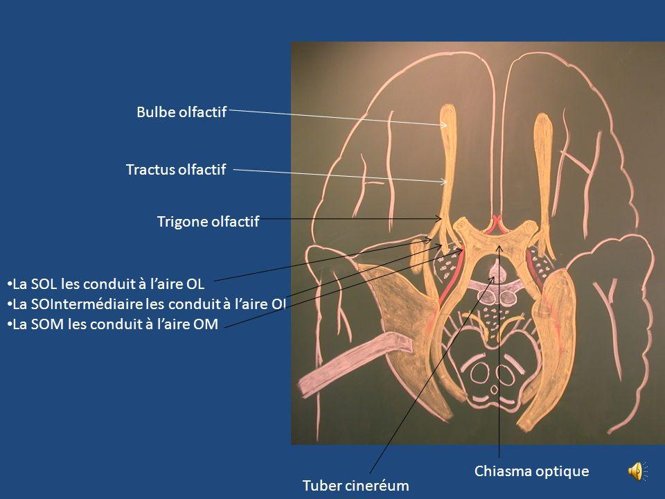 Bulbe olfactif Tractus olfactif. Trigone olfactif. La SOL les conduit à l'aire OL. La SOIntermédiaire les conduit à l'aire OI.