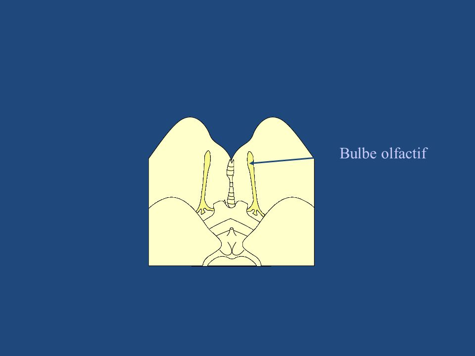 Bulbe olfactif
