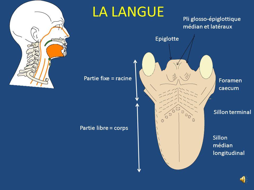 LA LANGUE Pli glosso-épiglottique médian et latéraux Epiglotte