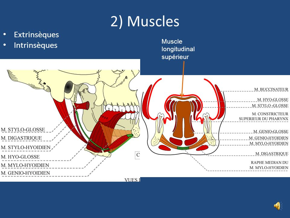 2) Muscles Extrinsèques Intrinsèques Muscle longitudinal supérieur