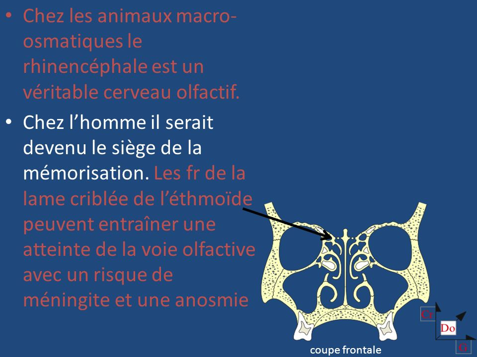 Chez les animaux macro-osmatiques le rhinencéphale est un véritable cerveau olfactif.