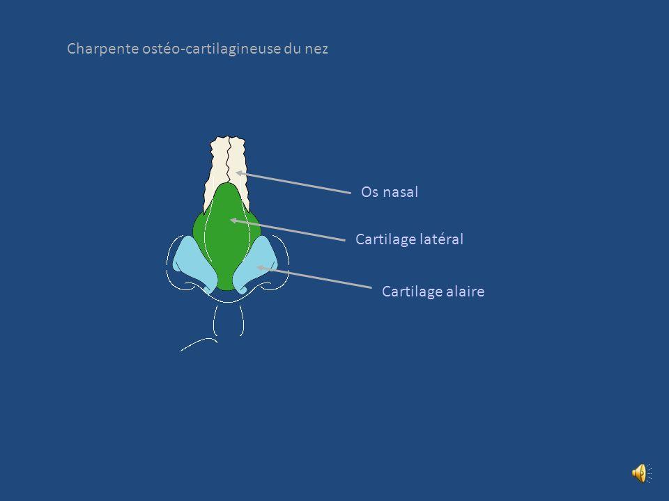 Charpente ostéo-cartilagineuse du nez