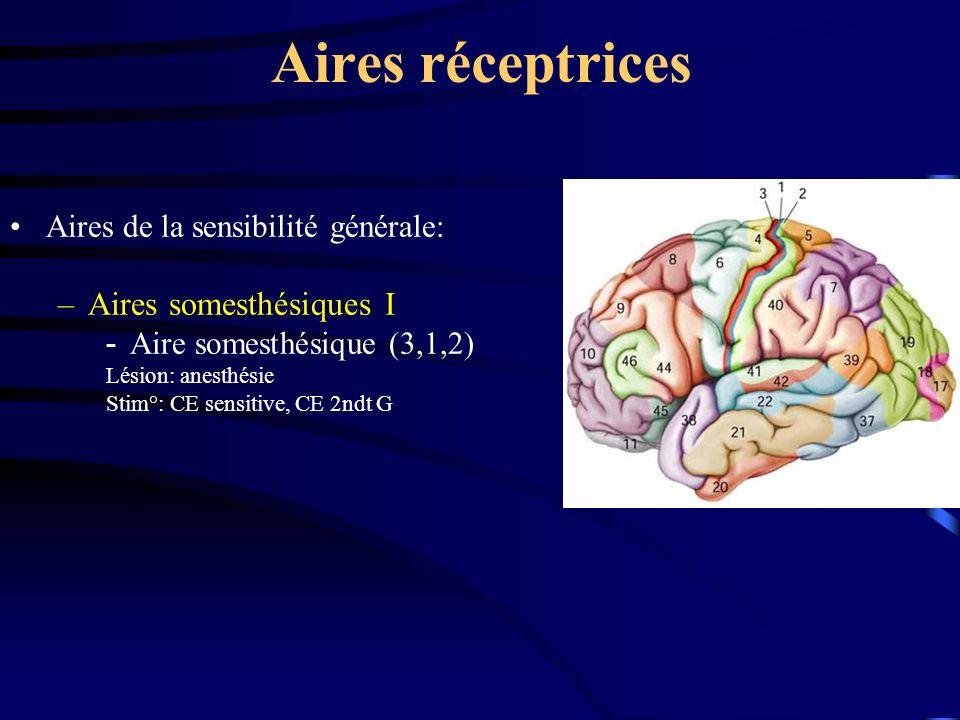 Aires réceptrices Aires somesthésiques I