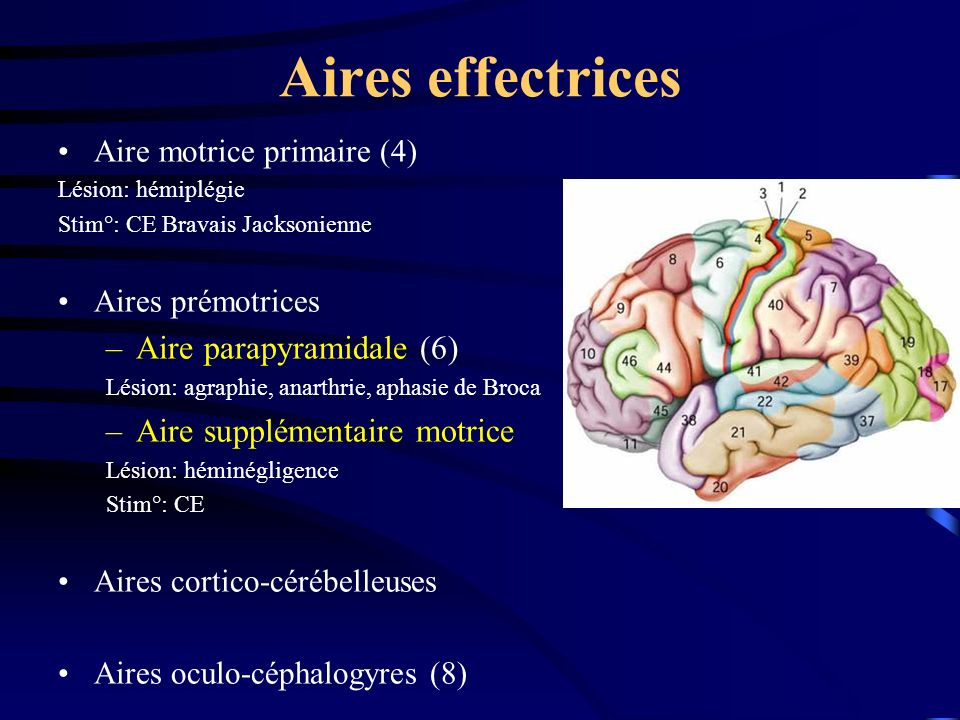 Aires effectrices Aire parapyramidale (6) Aire supplémentaire motrice