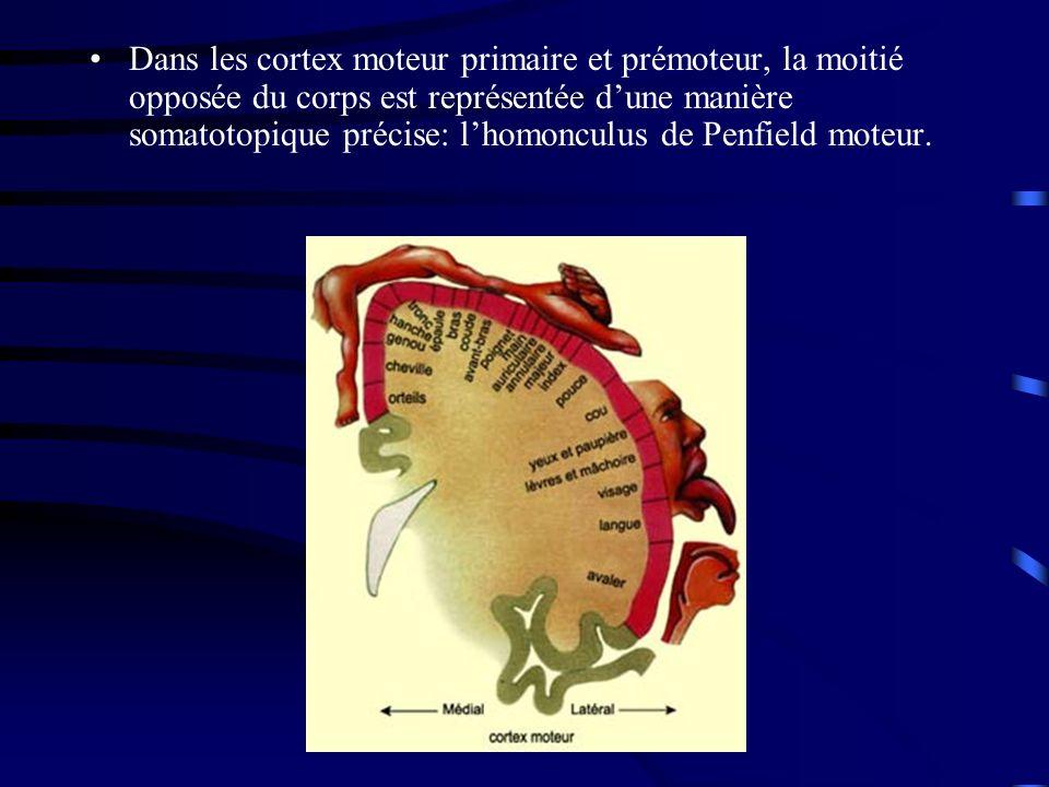 Dans les cortex moteur primaire et prémoteur, la moitié opposée du corps est représentée d'une manière somatotopique précise: l'homonculus de Penfield moteur.