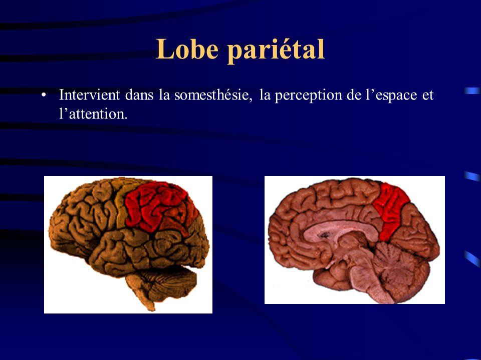 Lobe pariétal Intervient dans la somesthésie, la perception de l'espace et l'attention.