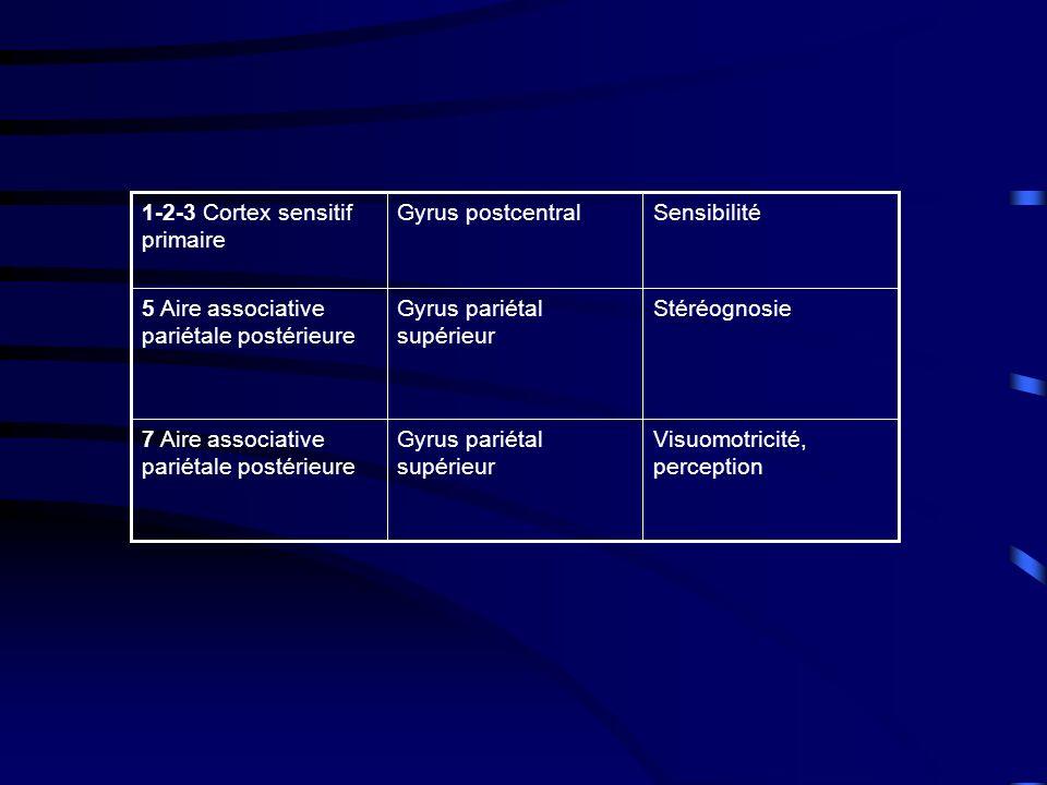 Stéréognosie Gyrus pariétal supérieur. 5 Aire associative pariétale postérieure. Visuomotricité, perception.