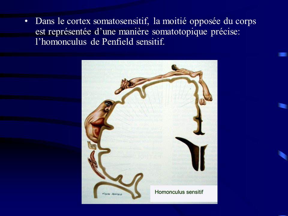 Dans le cortex somatosensitif, la moitié opposée du corps est représentée d'une manière somatotopique précise: l'homonculus de Penfield sensitif.