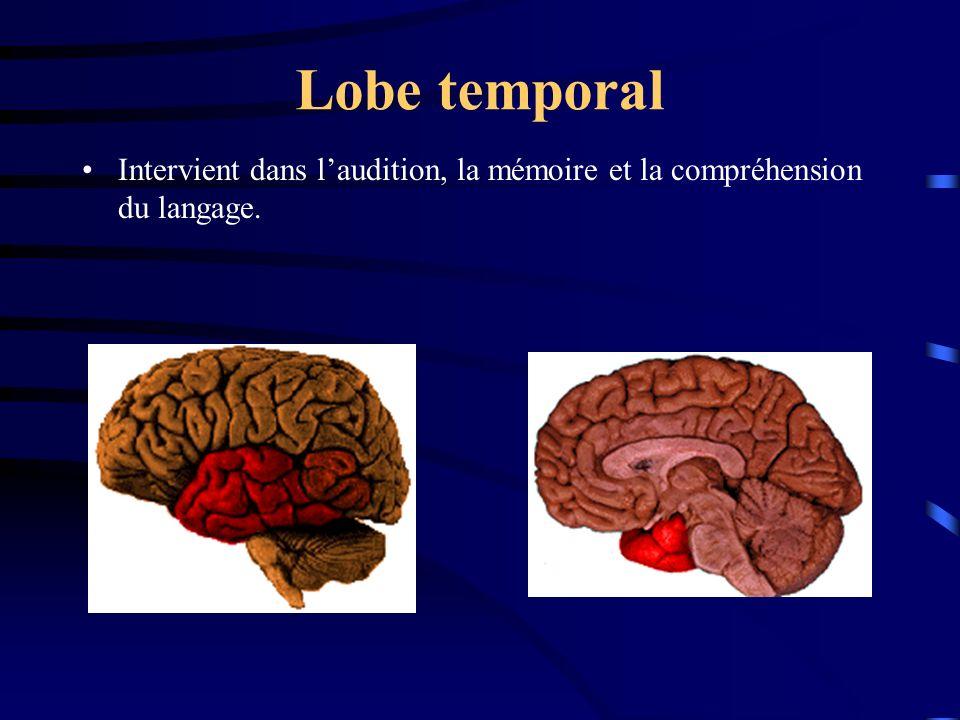 Lobe temporal Intervient dans l'audition, la mémoire et la compréhension du langage.