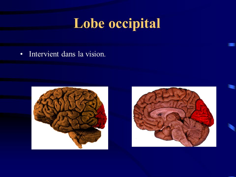 Lobe occipital Intervient dans la vision.