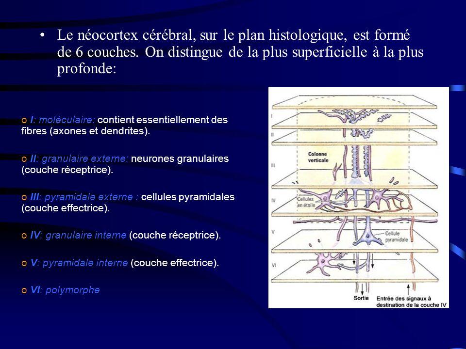 Le néocortex cérébral, sur le plan histologique, est formé de 6 couches. On distingue de la plus superficielle à la plus profonde: