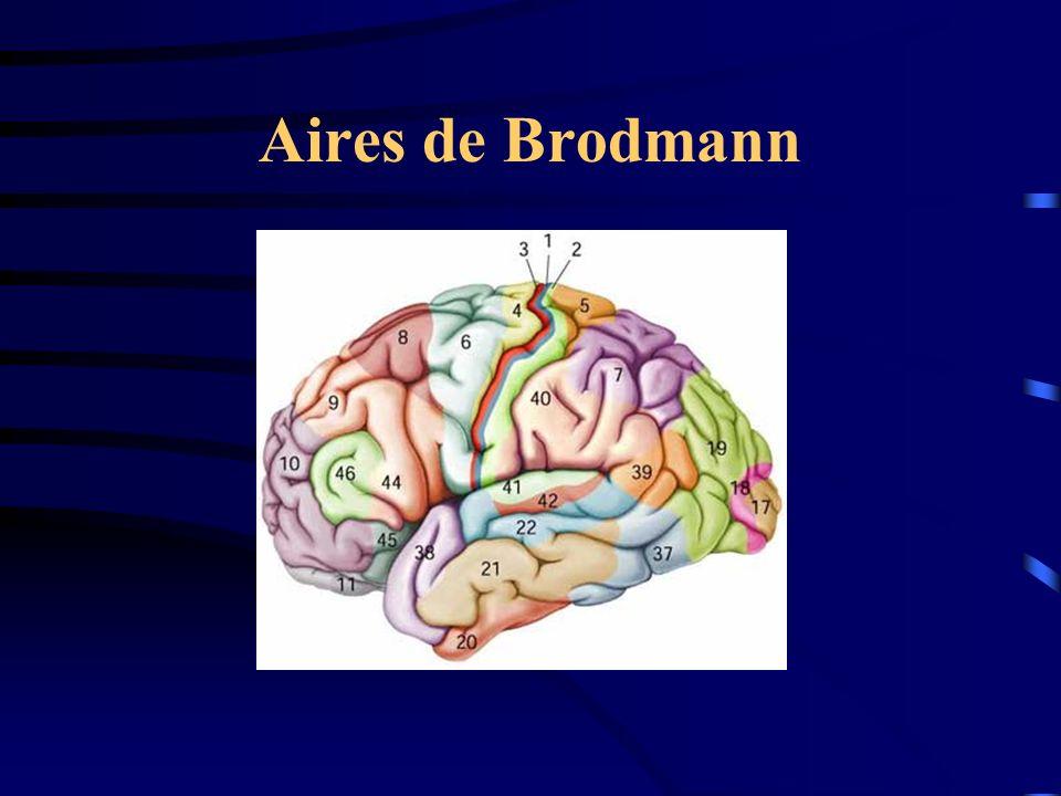 Aires de Brodmann