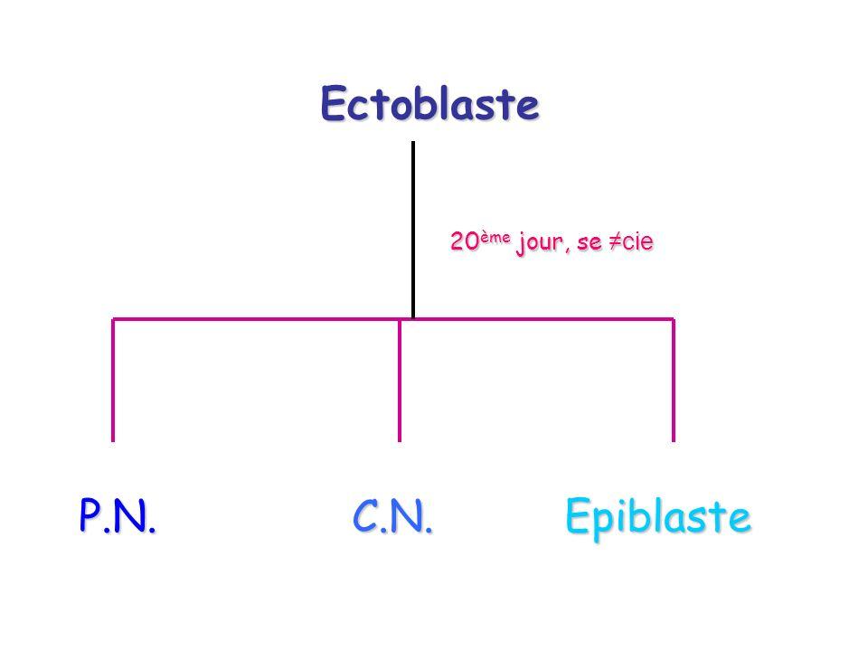 Ectoblaste 20ème jour, se ≠cie P.N. C.N. Epiblaste