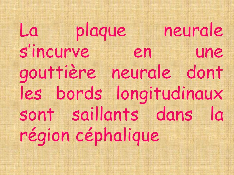 La plaque neurale s'incurve en une gouttière neurale dont les bords longitudinaux sont saillants dans la région céphalique